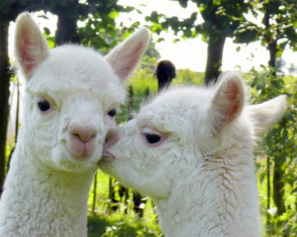 Alpacas in the City Square